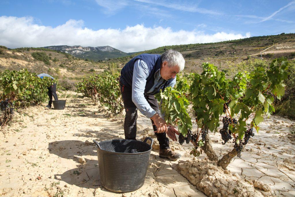 Javier y al fondo Israel vendimiando las vides de los viñedos de Bodegas Eguíluz