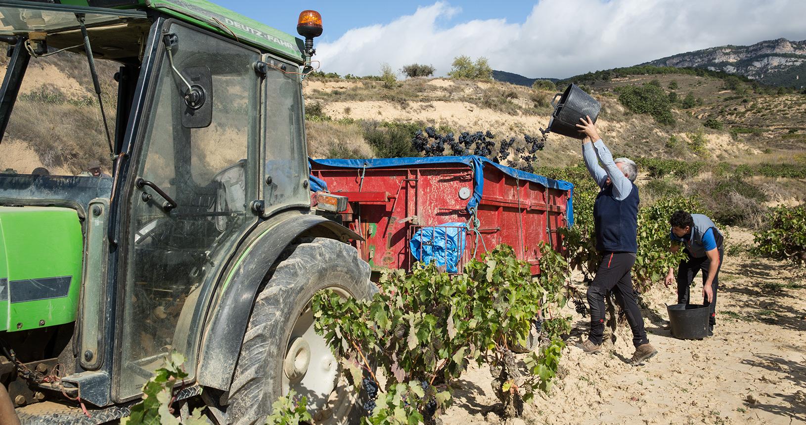 Labores de vendimia en los viñedos de Bodegas Eguíluz en Ábalos, La Rioja
