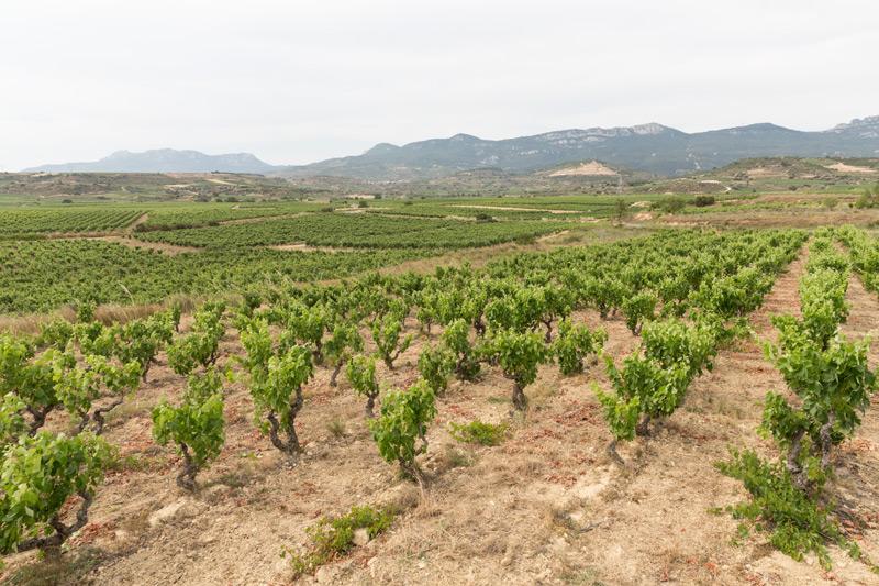 Viñedos únicos en la falda de Sierra Cantabria, en Ábalos.